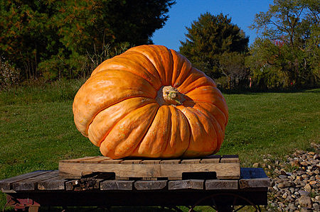 Illinois Man Grows Largest Pumpkin in North America`