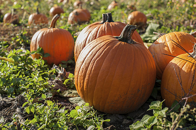 We could have a pumpkin shortage in IL this year
