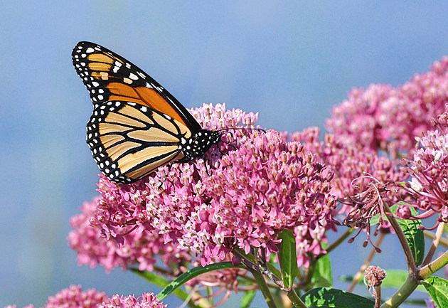 You and Your Kids Can Help Save Monarch Butterflies in Illinois