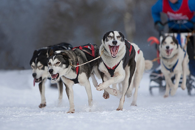 Make Your Husky Sled Dog Dreams Come True At Starved Rock