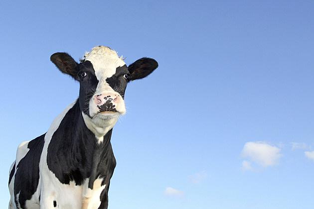 holstein cow against a blue sky